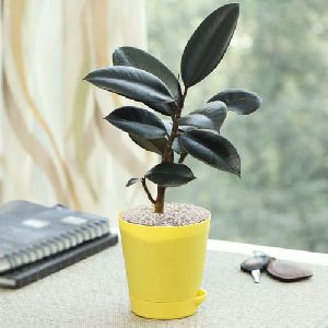 Exquisite Gift of Rubber Plant in a Classy Plastic Pot with White Chips
