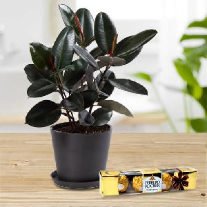 Eye-Catching Present of Rubber Plant in an Elegant Plastic Pot with Rocher Chocolates