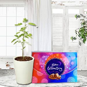 Nurturing Gift of Holy Tulsi Plant in a Glass Pot with Cadbury Celebration Pack