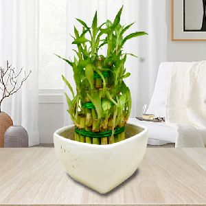 Symbol of Good Luck 3 Tier Leafy Bamboo Plant in Ceramic Pot