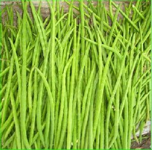 Fresh Moringa Sticks