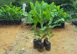 Acacia Angustissima Plant