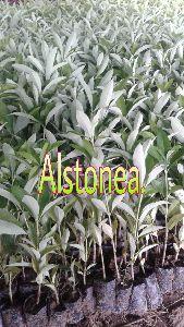 Alstonia Plants