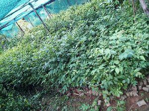 Bogipoma Plants