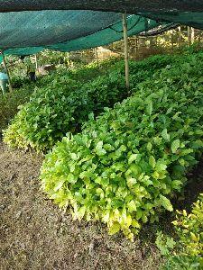 Coffee Rubosta Plant\'s