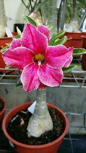 Desert Rose Plant\'s