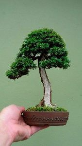 English Yew Bonsai Plan