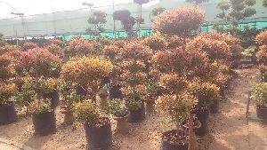 Eugenia Plants