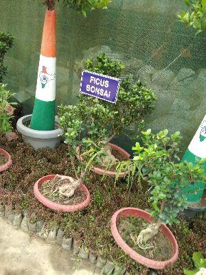 Ficus Bonsai Plants