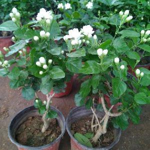 Jasmin Plants
