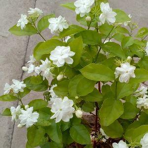 Jasminum sambac Plant\'s