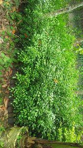 Kaamini Kanchan Plants