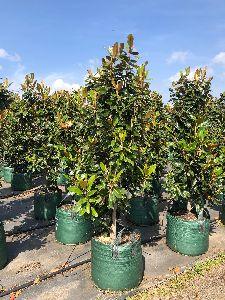 Magnolia Little Gem Plant