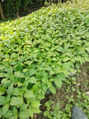 Naga Chilli Plants