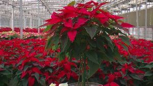 Natural Poinsettia Plants