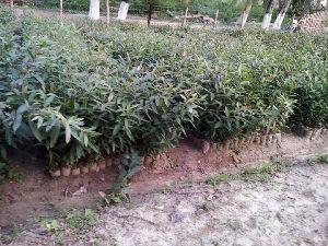 Terminalia Arjuna Plants