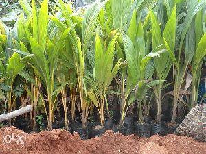 Tipture Coconut Plants