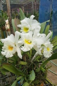 Vanda Orchid Plants
