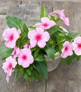 Vinca Plant\'s