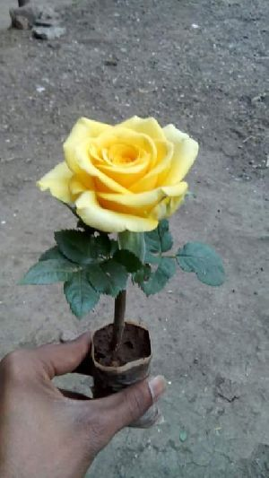 Yellow Rose Plant's