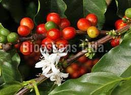 Arabica Coffee Blossom Honey