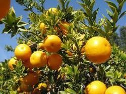 Citrus Plant Growth Regulator