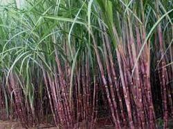 Sugarcane Plant Growth Regulator