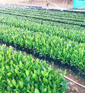 Kaju Plants