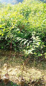 Neem Plants