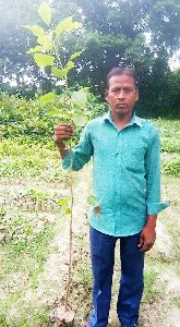 Peepal Plants