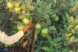 Tissue Culture Guava Plants