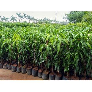 Tissue Culture Mango Plants
