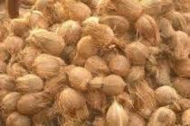 Semi Coconut Coconut