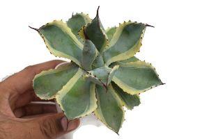 Agave Potatorum Tradewinds  Plant\'s