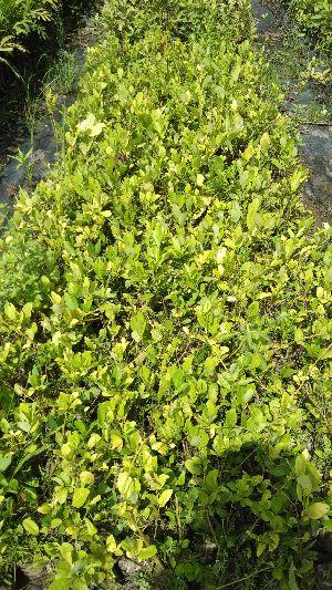 Assam Lmeon Cutting Plant