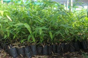 Boombusa Brandisi Plant