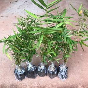 Dendrocalamus Oilverii Plant