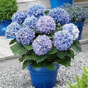 Greenspire hydrangea Plant