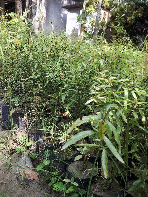 Pomegranate Seedling