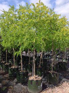 Robinia Pseudoacacia Plants