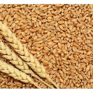Durum Wheat Seeds