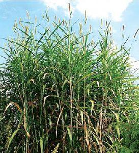 4G Napier grass Seeds