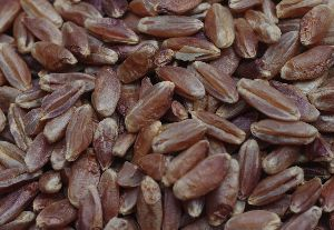 Blue Wheat Seeds