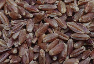 Blue Wheat Seeds