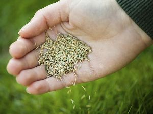 Cow Grass Seeds
