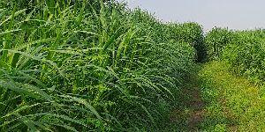 Cow Super Grass Seeds