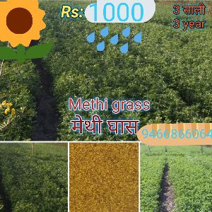 Methi Grass Seeds