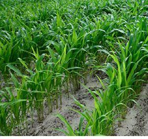 Sugargraze Jowar Grass Seeds