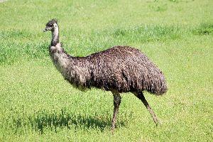 Live Emu