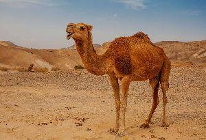 Live Camel